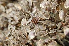 Черепашка на семенах сушит цветорасположение зонтика стоковое фото rf