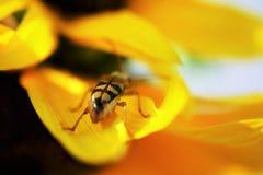 Черепашка на солнцецвете стоковые фото