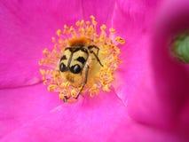 Черепашка на цветении цветка Стоковые Фотографии RF