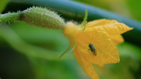 Черепашка на цветя огурце видеоматериал