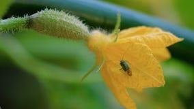 Черепашка на цветя огурце сток-видео