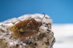 Черепашка дока (marginatus Coreus) Стоковая Фотография