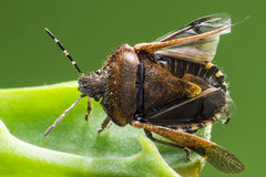 Черепашка дока (marginatus Coreus) Стоковое Фото