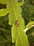Черепашка отдыхая на больших зеленых лист артишока Стоковое Изображение