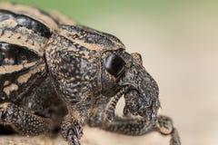 Черепашка долгоносика лука Стоковые Фотографии RF
