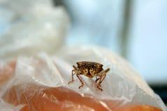 черепашка пива Насекомое бича Sunn Integriceps Eurygaster хлопья подрезывают бич стоковые фото