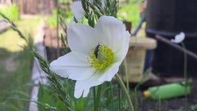 Черепашка проползает на цветках цветка опыляя в летнем дне когда свет солнца, конец вверх сток-видео