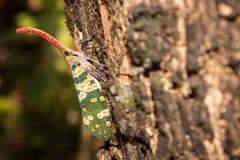 Черепашка фонарика Стоковая Фотография