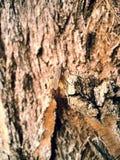 Черепашка ясенелистного клена Стоковые Изображения