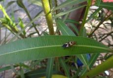Черепашка Boxelder в лист олеандра Стоковые Фотографии RF