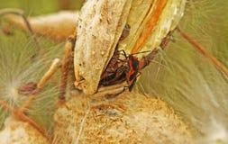 Черепашка Boxelder на milkweed Стоковое фото RF