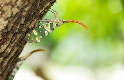 Черепашка Fulgorid или Pyrops candelaria на дереве Longan Стоковые Изображения RF