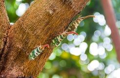 Черепашка Fulgorid или Pyrops candelaria на дереве Longan Стоковые Фотографии RF