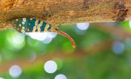 Черепашка Fulgorid или Pyrops candelaria на дереве Longan Стоковая Фотография