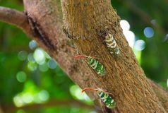 Черепашка Fulgorid или Pyrops candelaria на дереве Longan Стоковое Фото