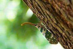 Черепашка Fulgorid или Pyrops candelaria на дереве Longan Стоковое Изображение