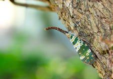 Черепашка Fulgorid или Pyrops candelaria на дереве Longan Стоковые Изображения