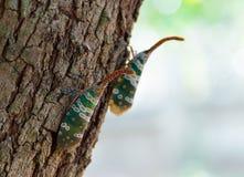 Черепашка Fulgorid или Pyrops candelaria на дереве Longan Стоковые Фото