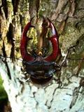 черепашка horned Стоковые Фото