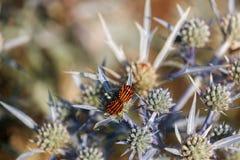 Черепашка lineatum graphosoma 2 striped итальянкой отдыхает на a стоковые фото
