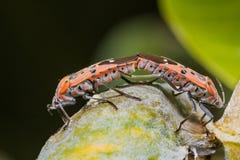 Черепашка Stainer хлопка Стоковое фото RF