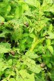 Черепашки Колорадо бормочут вверх по листьям картошек Стоковые Фотографии RF