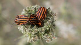 Черепашки черных и красного цвета Стоковая Фотография