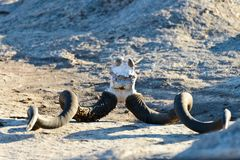 Череп антилопы стоковые фотографии rf