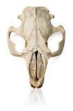череп бобра Стоковое Фото