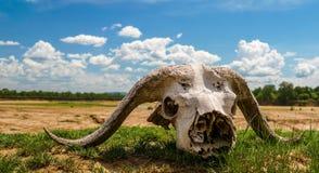 Череп буйвола в плоскости африканские  Стоковое Изображение RF