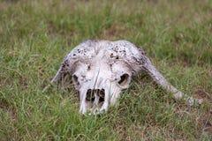 Череп буйвола в саванне, Южной Африке Стоковое Изображение