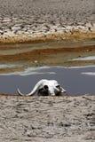 Череп буйвола накидки на африканских равнинах Стоковая Фотография