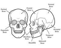 череп диаграммы Стоковое фото RF