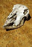 череп животного близкий вверх Стоковые Изображения