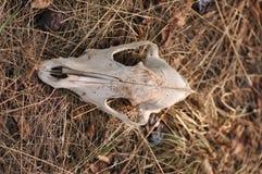 Череп животного Стоковые Фото