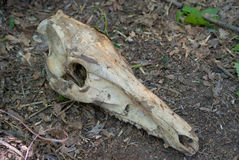 Череп дикого кабана нашел в лесе Стоковые Фотографии RF