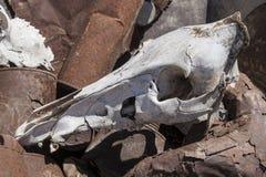 Череп дикого кабана Стоковая Фотография