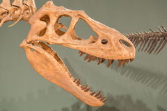 Череп и позвонки динозавра Стоковая Фотография RF