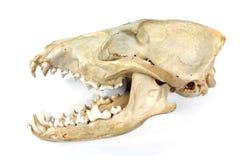 Череп и челюсть собаки Стоковые Фотографии RF