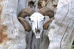 Череп козы головной стоковые фото