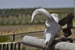 Череп козы с смертной казнью через повешение antler на загородке Стоковое Изображение RF