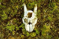 Череп козы Стоковые Фото