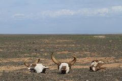 Череп коровы и лошади Стоковые Изображения RF