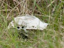 Череп коровы лежа в траве Стоковое Изображение RF