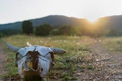 Череп коровы на заходе солнца Стоковые Изображения