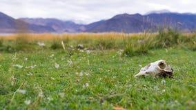 Череп коровы на зеленой траве Стоковая Фотография RF