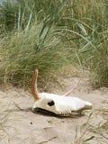 Череп коровы на пляже Стоковая Фотография RF