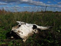 Череп коровы на поле Стоковая Фотография RF
