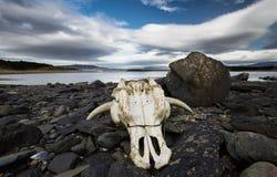 Череп коровы на пляже Стоковые Изображения RF