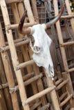 Череп коровы для продажи Стоковое Фото